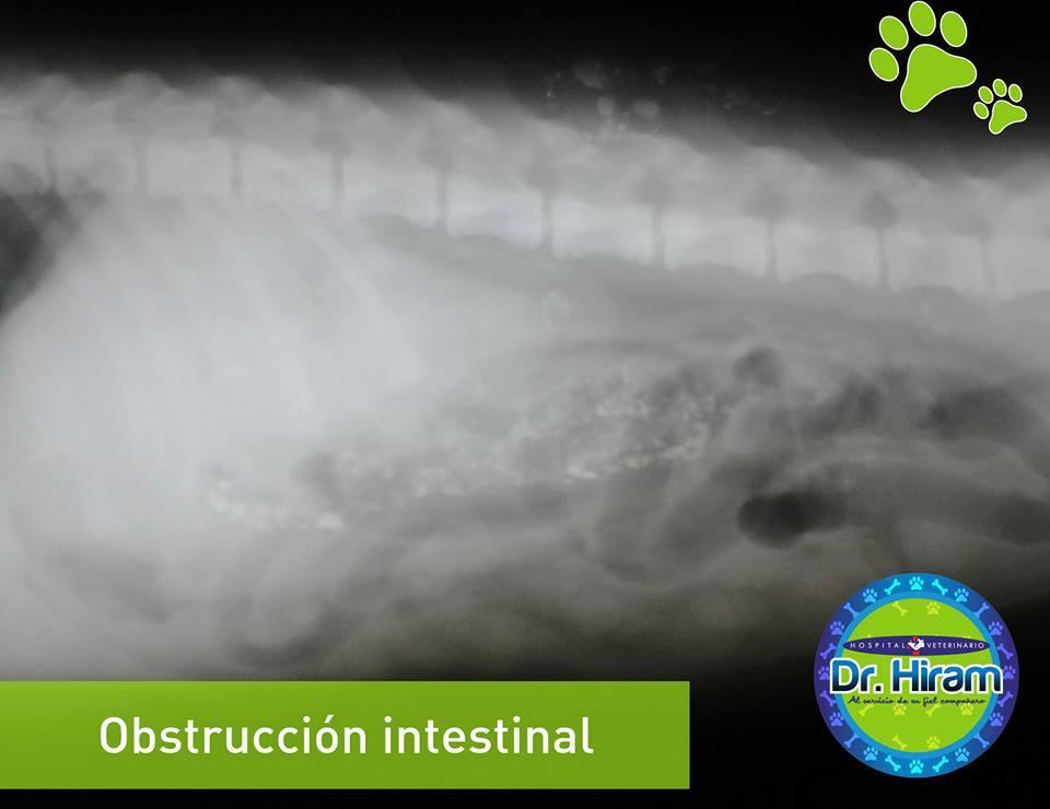 Obstrucción intestinal en perros